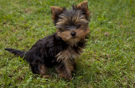 Yorkshire Terrier puppy ausilk=00